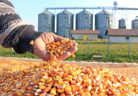 maiz: Grano de ma�z en una mano despu�s de la buena cosecha del agricultor exitoso, en un fondo del silo agr�cola