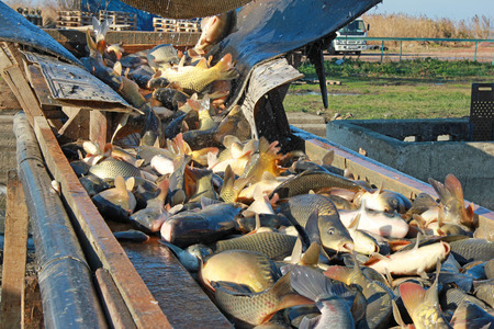 freshwater fish: Fishing Industry - Catching and sorting a freshwater fish Stock Photo