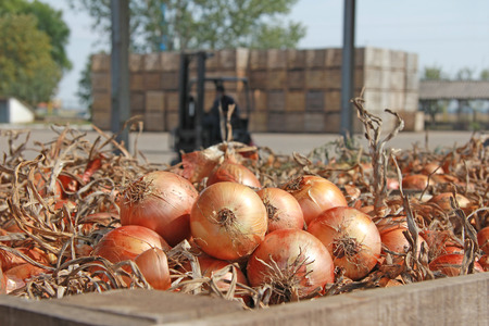 Onions in a warehouse after harvest Imagens