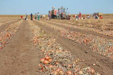Harvesting onion on field. Workers picking and transporting to the warehouses Stock Photo