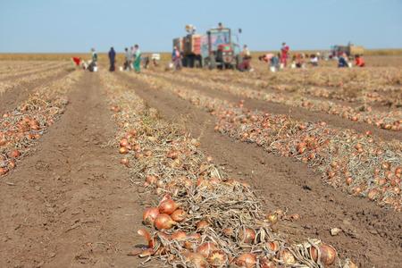 Het oogsten van ui op het veld. Arbeiders plukken en transporteren naar de pakhuizen