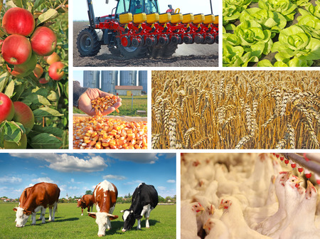 agriculture industrial: Agriculture - collage, food production - corn, wheat, tractor sowing, apple, cows on pasture, chicken farm, lettuce
