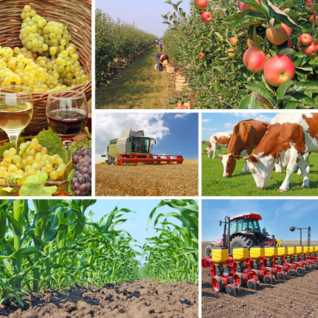 agriculture machinery: Agriculture - collage, food production - corn field, wheat harvest, tractor sowing, apple, cows on pasture, wine and grapes