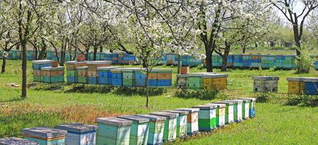 beekeeping: Beekeeping, beehives in the blooming cherry orchard