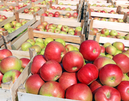 ripeness: Cart full of apples after picking