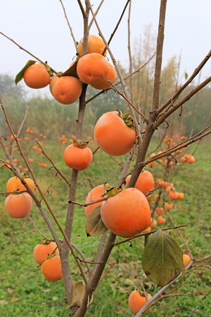 ripeness: Japanese persimmon in a orchard, sharon fruit