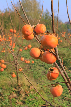 ripeness: Persimmon trees, sharon fruits in a orchard Stock Photo