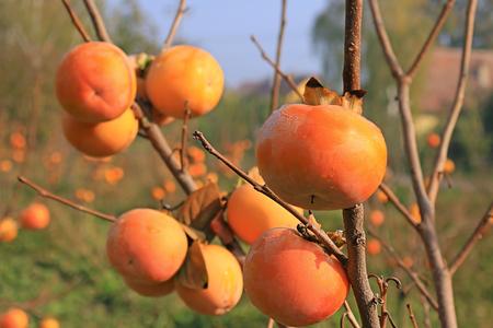persimmon: caqui japonés en una huerta, fruta de sharon