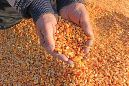 Maïs in een hand na de goede oogst van succesvolle boer Stockfoto - 54369060