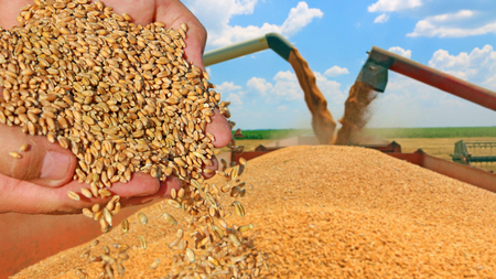 food plant: Wheat grain in a hand after good harvest of successful farmer