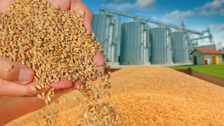 Wheat grain in a hand after good harvest of successful farmer, in a background agricultural silo