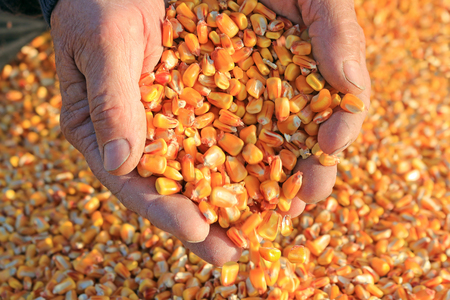 Corn grain in a hand after good harvest of successful farmer