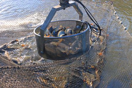 fischerei: Die Fischer fangen einen Süßwasserfische aus dem Fischteich mit Landmaschinen