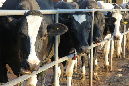 cattle breeding: Cows in the cowshed, dairy farm