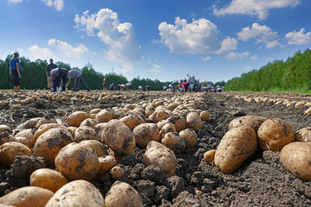 Harvesting potatoes on field, farm workers picking and transporting to the warehouse Imagens - 64364176