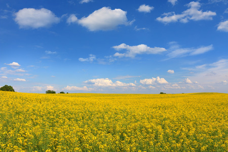 Beautifully yellow oilseed rape flowers in the field, blue sky and clouds background, landscape