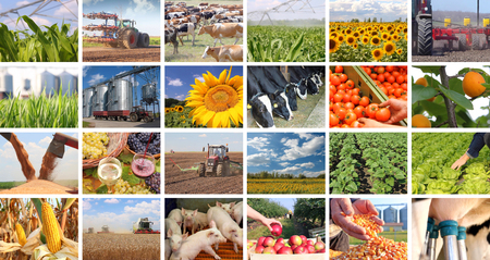 agronomic: Agriculture - food production, corn grain, irrigation, lettuce, sunflower, silo, harvest wheat, tractor, apple, milking, dairy farm, apricot, grape and wine, tomato, pig, piglet, cow in collage Stock Photo