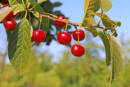 Ripe cherry fruit on a tree, ready for picking Imagens