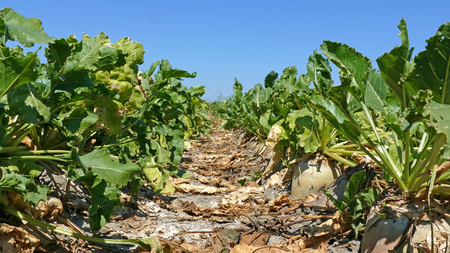 Sugar beet on agricultural field