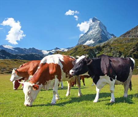 Cow grazing in the meadow.In the background of the Matterhorn-Swiss Alps Imagens