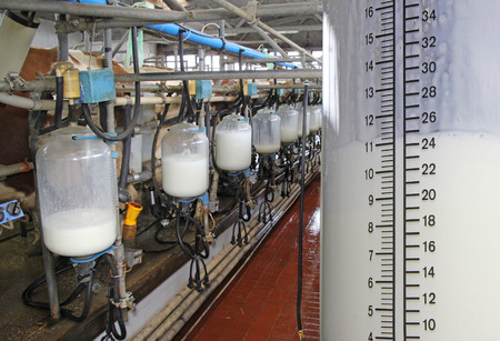 Milking cows on farm, working with dairy equipment. Filling bottles with milk
