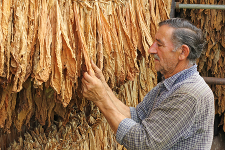 Senior farmer looking and controlling dry tobacco leaf in the dryer