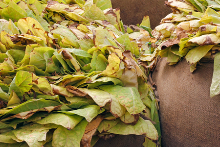 Tobacco leaves in a bags after harvest Imagens