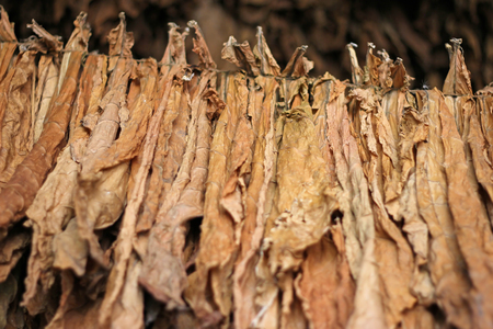 Drying tobacco leaves hanging in a barn before processing Imagens