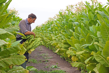 Senior farmer picking tobacco in the field