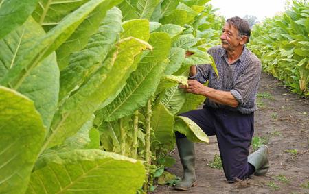 Älterer Bauer, der Tabak auf dem Feld pflücket Standard-Bild