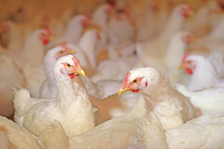 Chicken farm, eggs and poultry production Imagens - 126909223