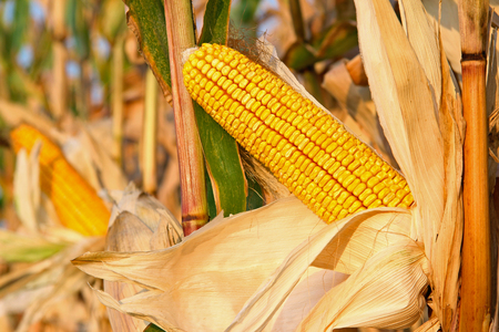 Ripe corn cob in the field is dry and ready for harvest Imagens - 126909423