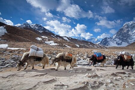 Group of Yaks carrying goods along the route to Everest Base Camp in the Himalayan Mountains of Nepal, beautiful high altitude landscape, Himalayan peaks in the background Imagens - 130966734