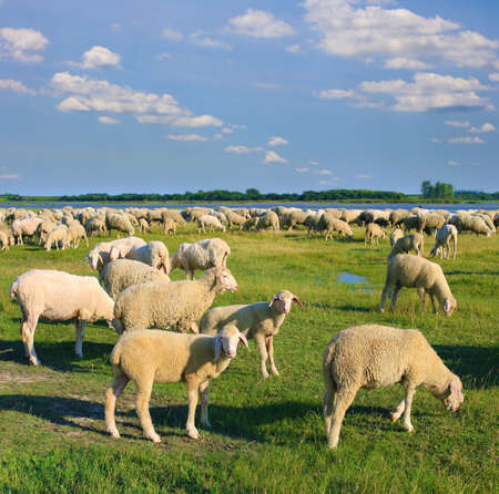 Flock of sheep grazing on pasture, beautiful summer landscape Imagens