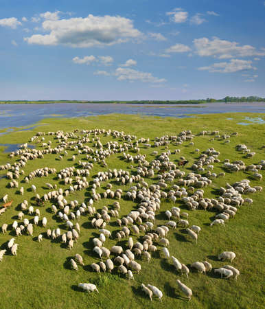 Aerial view flock of sheep grazing on pasture. Beautiful summer landscape, flock of sheep a few goats and one donkey on meadow near river and lake