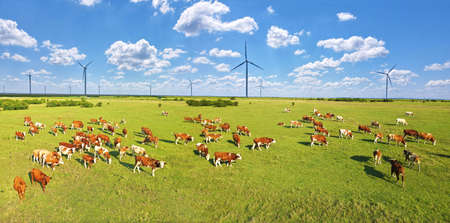 Aerial view of cows grazing on pasture, beautiful summer landscape with wind turbines and clouds in the blue sky