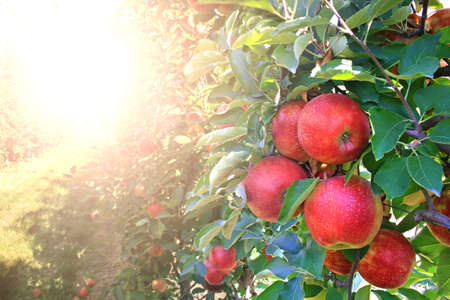 Ripe apples in orchard, ready for picking, in the background the sun shines on a bright summer day