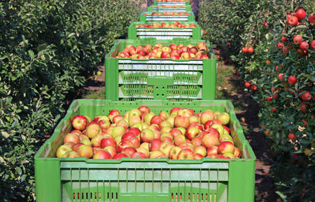 Apples in a boxes after harvest transport between rows of orchard to the storage