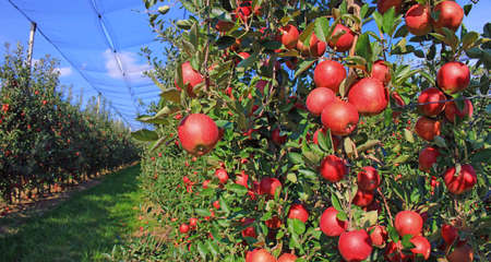 Ripe apple in orchard, ready for picking. The orchard has anti-hail nets Standard-Bild