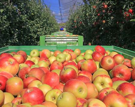 Apples in a boxes after harvest transport between rows of orchard to the storage. Farmers pick ripe apples in an orchard that has anti-hail nets