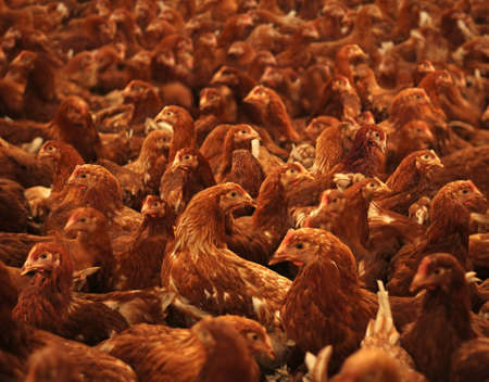 Chicken farm, eggs and poultry production, feeding chickens in modern breeders Imagens
