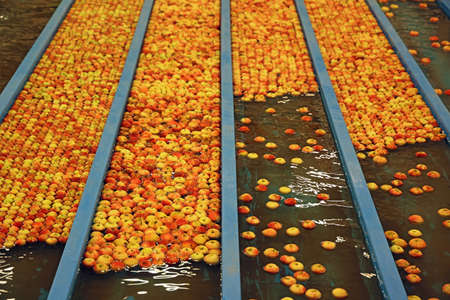 Apples floating in a sort of water conveyer, washing and grading in a fruit packing warehouse