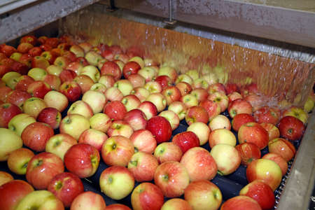 Fresh apples washing and moving on conveyor sorting and grading by the machine in a fruit packing warehouse, food industry