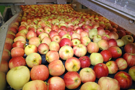 Clean fresh apples moving on conveyor sorting and grading by the machine in a fruit packing warehouse