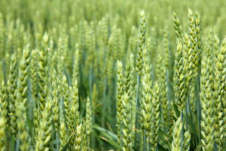 Green wheat field, close-up of ears of grain on a beautiful sunny day