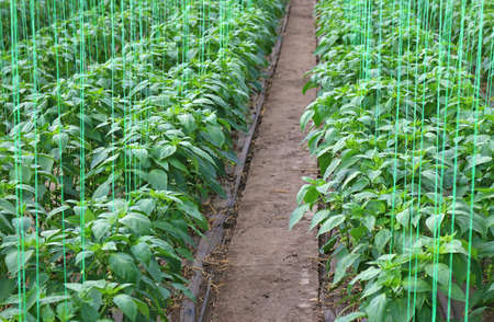 Pepper farming - growth of bell pepper plants inside a greenhouse