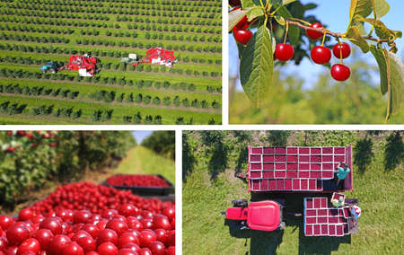 Picking cherries in the orchard. Aerial view of cherry harvest with two automated cherry picker machines, landscape rural scene - collage Imagens