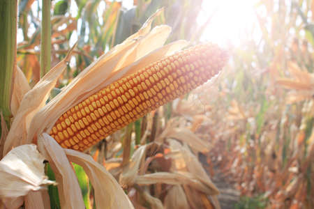 Ripe corn cob in the field is dry and ready for harvest, sun shines through the leaves and stems