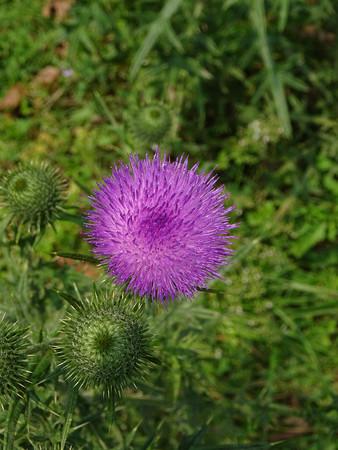 Thorny thistle flower Stock Photo