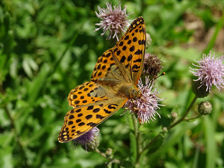 entomology: Issoria lathonia butterfly Stock Photo